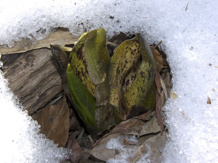 Eastern skunk cabbage melting a hole through the snow.